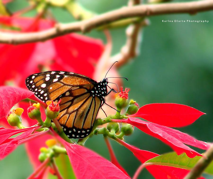 Mariposa Monarca / Monarch butterfly
