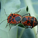 Percevejos acasalando // Shield bugs mating (Eurydema ventralis)