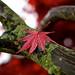 Rainy Red Leaf