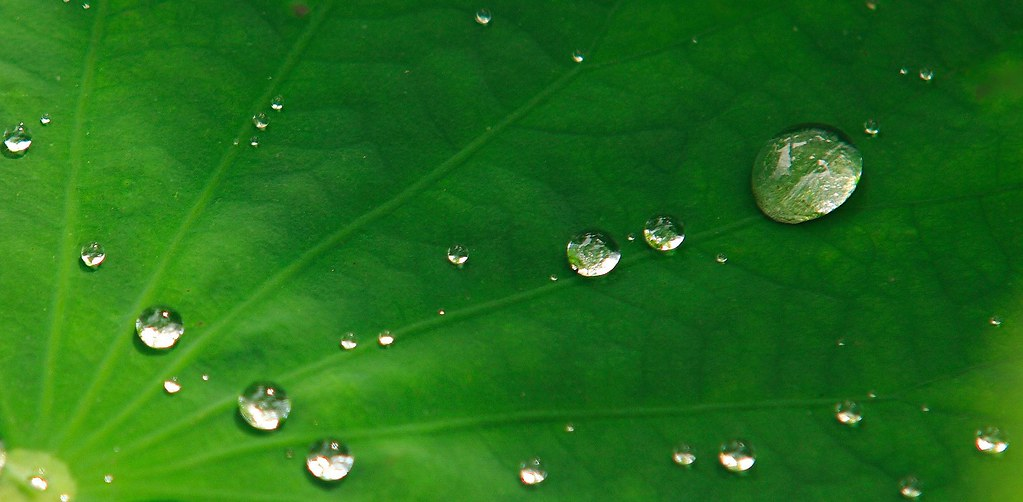 untitled lotus leaf after rain george lu flickr. Black Bedroom Furniture Sets. Home Design Ideas