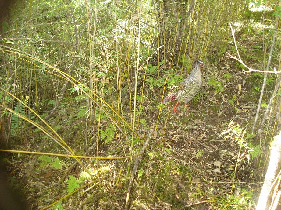 blood pheasant this blood pheasant ithaginis cruentus