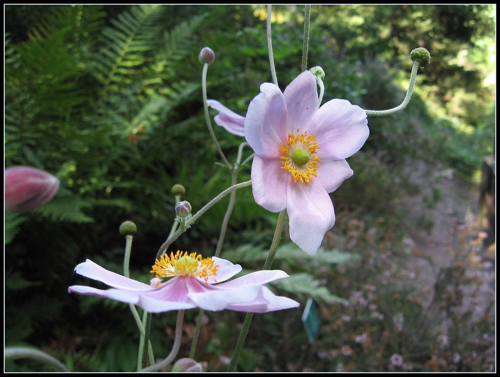 Anemone du japon jardin botanique de saverne spiterman flickr - Jardin botanique de saverne ...