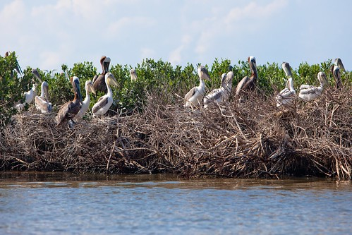 Hundreds of baby Brown Pelicans | by Kris Krug