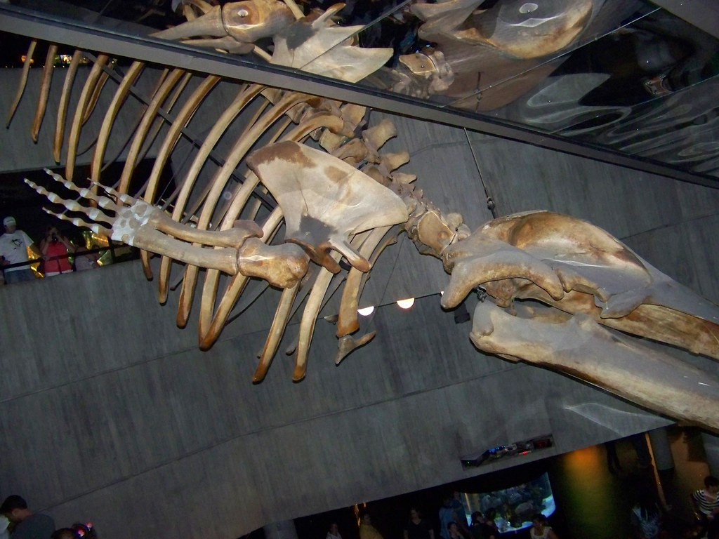 Fin Whale Skeleton | T...
