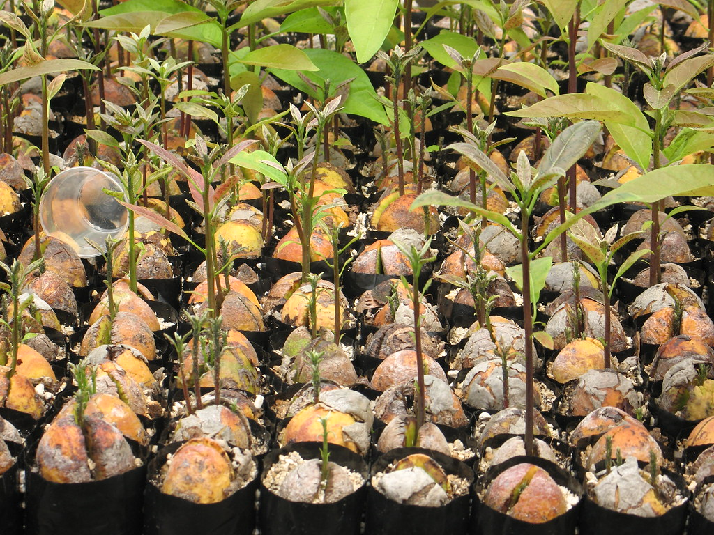 avocados growing from seed joe sabol flickr. Black Bedroom Furniture Sets. Home Design Ideas