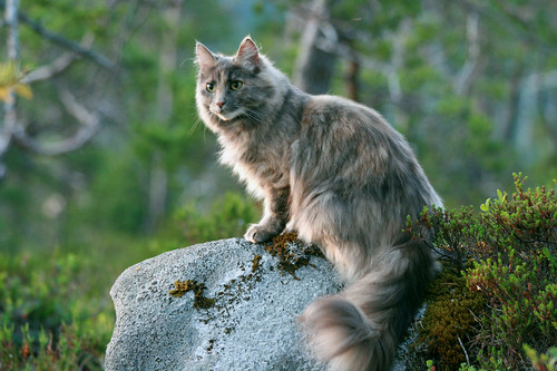 Norwegian Forest Cat For Sale Edinburgh