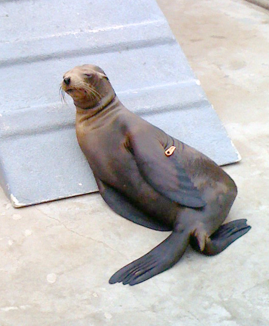 ff77a0c1 ... Sea Lion And Humans: California Sea Lion In An Atypical Pose