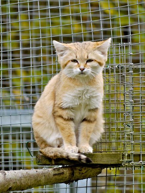 Chat du d sert ou chat des sables 10 flickr photo - Chat des sables a vendre ...