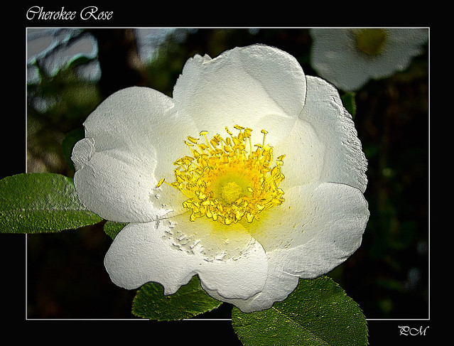 Cherokee Rose Explore Pahrkm 39 S Photos On Flickr Pahrkm