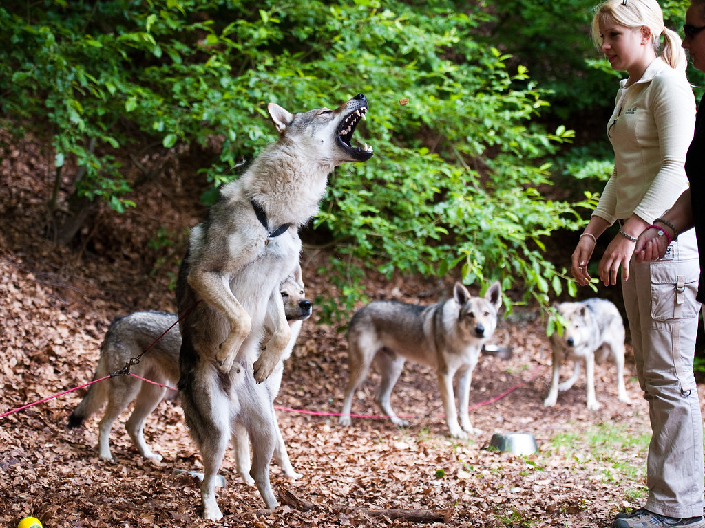 Wolf Dogs For Sale California