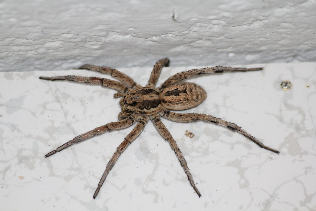 Wolf Spider Pictures Ragno Lupo | Spi...