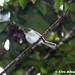 Alagoas Tyrannulet_Phylloscartes ceciliae