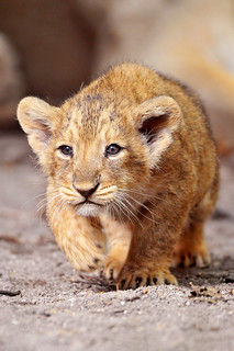 Walking lion cub | by Tambako the Jaguar