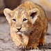 Walking lion cub