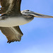 Brown Pelican IMG_4336