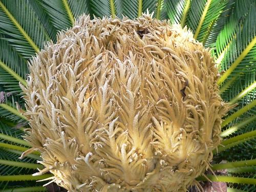 Cycas Revoluta Flower Revoluta Flower | by