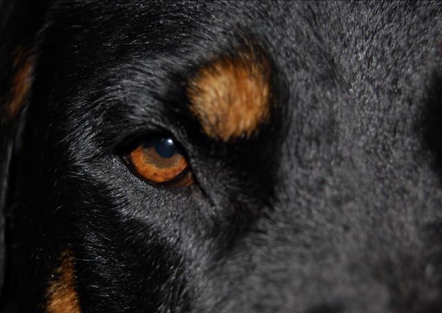 rottweiler eye