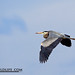 Great Blue Heron-9277-W