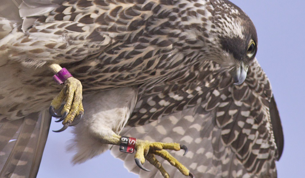 Peregrine Falcon Talons Peregrine Falcon Talons Amp Tags