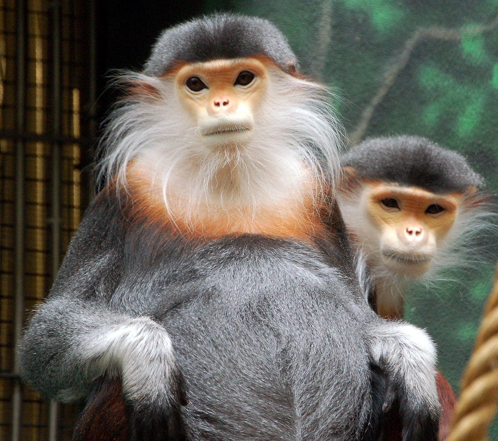 """Even Though They Are Known As """"douc Langurs"""