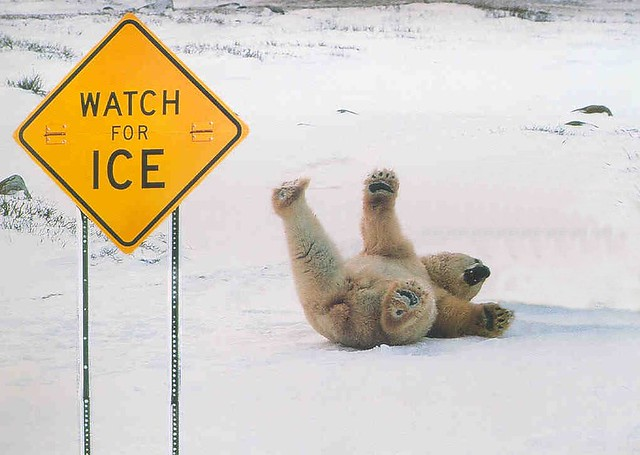 Image result for watch for ice bear