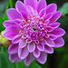 Pretty Purple Dahlia