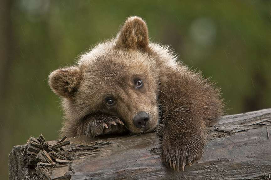 Rainy Day Grizzly Cub.   Little female grizzly cub I had ...