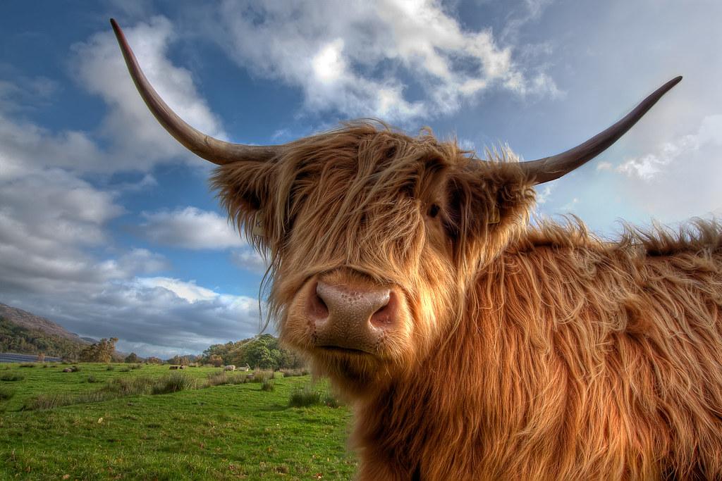 Curious Highland Cow A Curious Highland Cow Near Loch