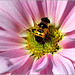 Busy Bee......(Hoverfly)