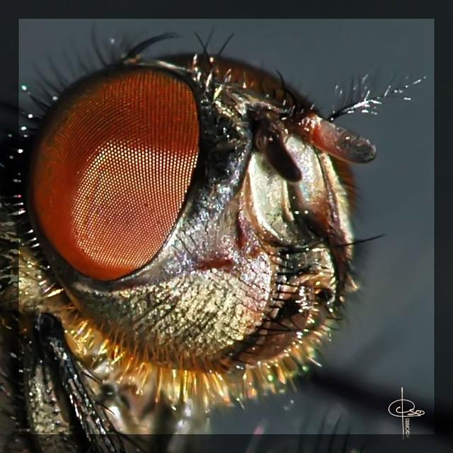 d tail de t te d 39 une mouche domestique musca domestica flickr. Black Bedroom Furniture Sets. Home Design Ideas