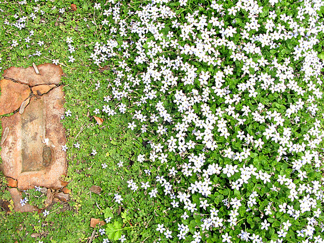 White flowering thyme used as groundcovercommunity garden flickr white flowering thyme used as groundcovercommunity garden victoria british columbia by mightylinksfo