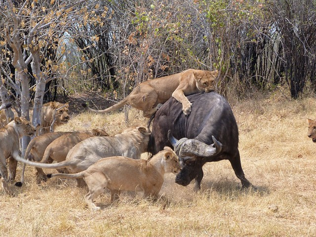 Manada de leones cazando un búfalo en Savuti (Botswana)