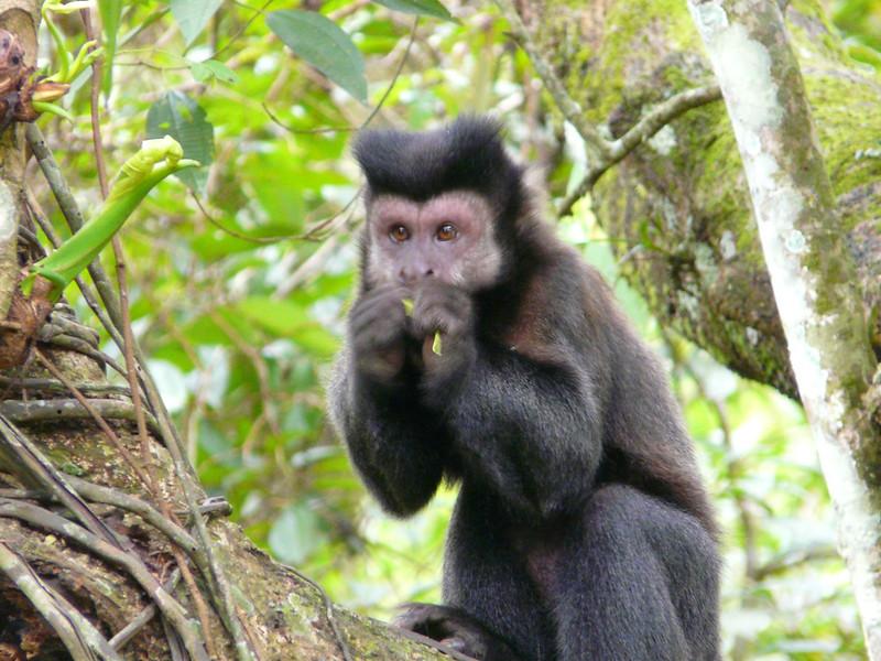 Singe dans le parc national d'Iguazu
