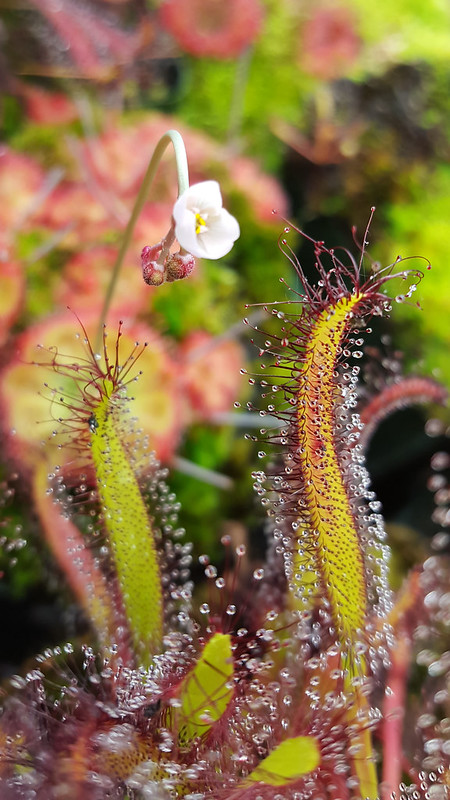 Drosera sessilifolia flower.