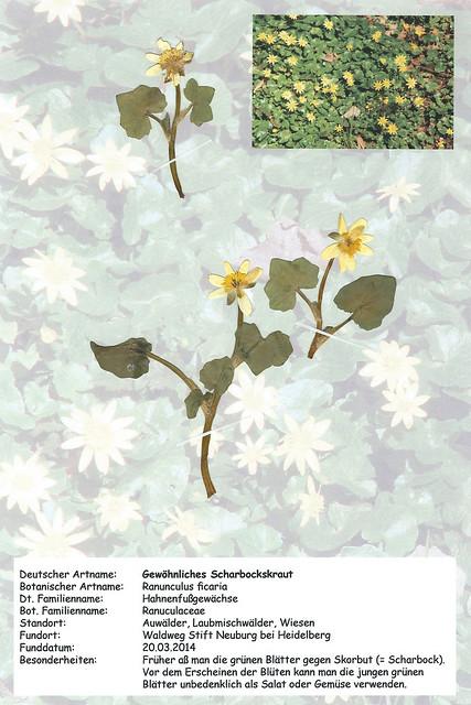 Herbarium Scharbockskraut Brigitte Stolle Mannheim