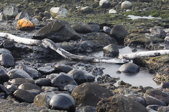 潮間帶被厚厚一層油污覆蓋。攝影:周昭蕊。
