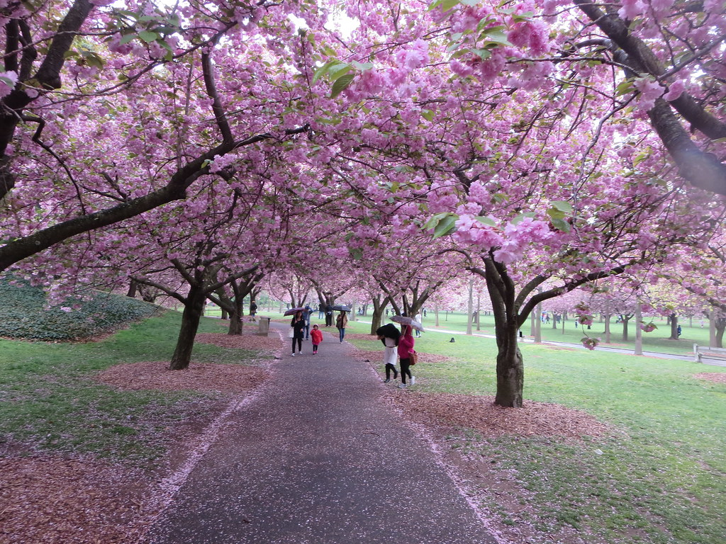Cherry Walk Filled With Japanese Kanzan Pink Cherry Blosso Flickr