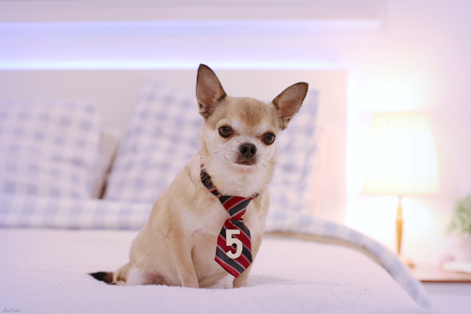 chihuahua 5th fifth birthday five 5 years old smooth coat short haired beige tan brown white tie