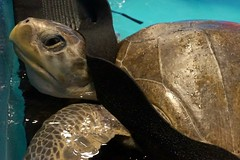 Two distressed sea turtles rescued on the coast after winter storms have taken an important next step in their journey to return to the ocean. Today, they caught a flight in Seattle aboard a U.S. Coast Guard C-130 transport plane to finish their rehabilitation at Sea World San Diego before eventual release to their home waters in the Pacific Ocean.
