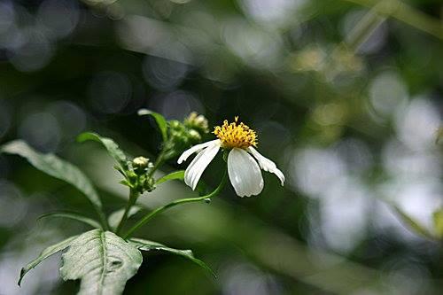 大花咸豐草。攝影:王升陽。
