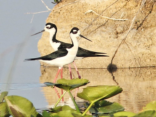 Black-necked Stilts 5-20160412