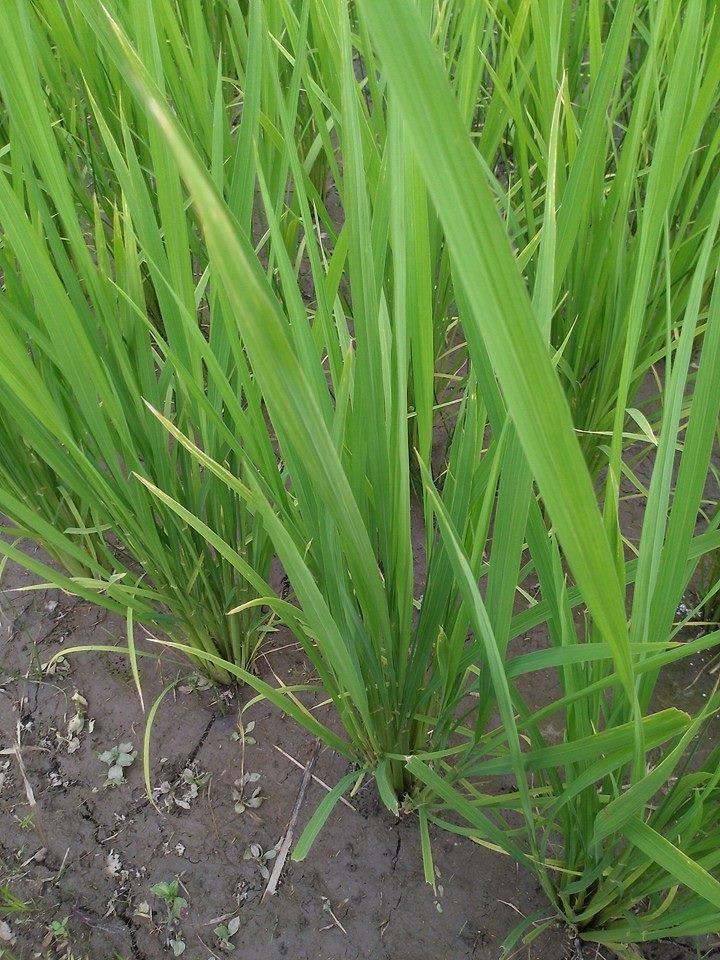 自然田的稻葉