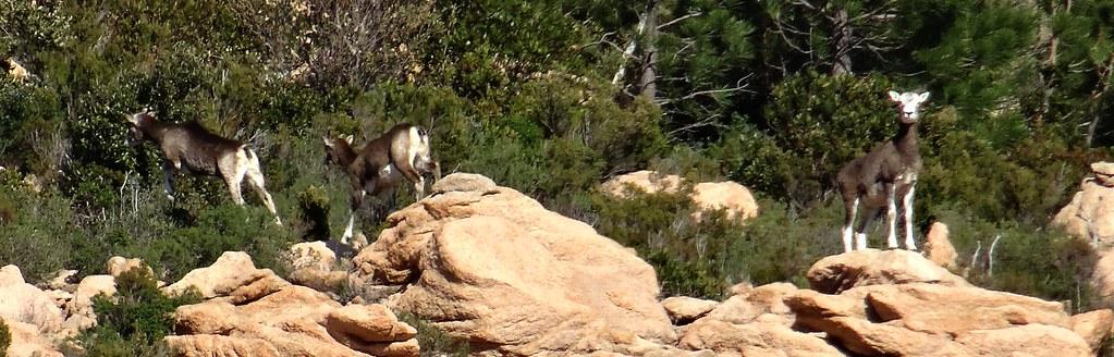 Une harde de 7/8 mouflons reprenant sa fuite