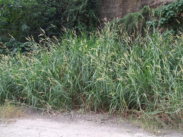 象草等大型禾草是生質能源的明日之星。圖片來源:特生中心提供