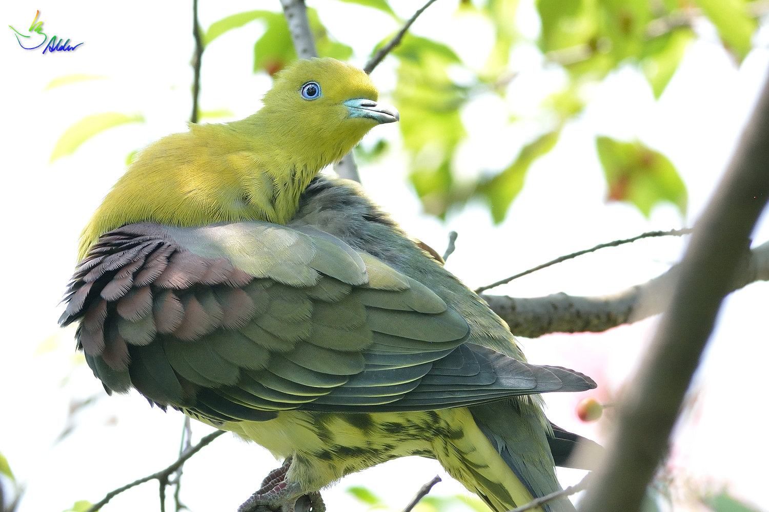 White-bellied_Green_Pigeon_5772