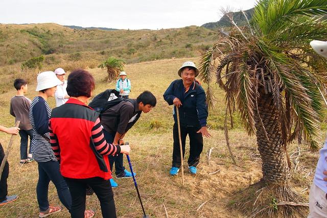 冰河時期留下的台灣海棗是人類喜歡利用的植物,也是牛群放鬆抓癢的好地方。攝影:李育琴