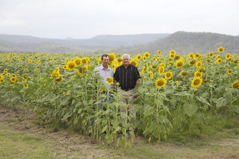 simon mattsson and alan mclean in the sunflowers