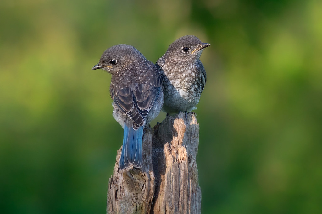 Baby Bluebirds Eastern Philip Dunn Flickr