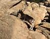Un mouflon fuyant notre arrivée sur le plateau 521