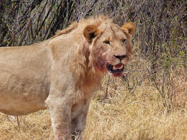 León joven después de matar un búfalo en Savuti (Botswana)